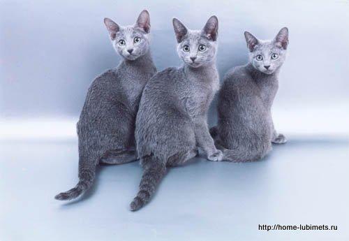 Русская голубая порода кошки кошка