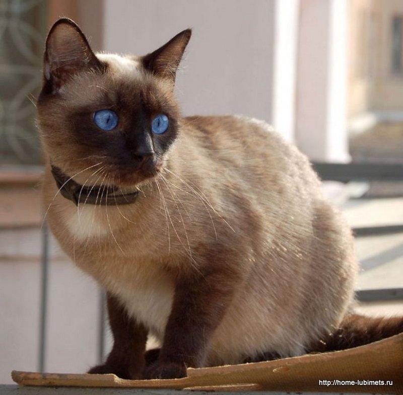 Породы кошек по знакам Зодиака