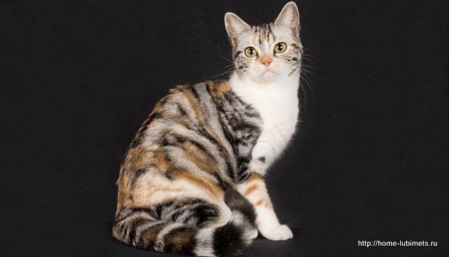 Американская жёсткошёрстная кошка