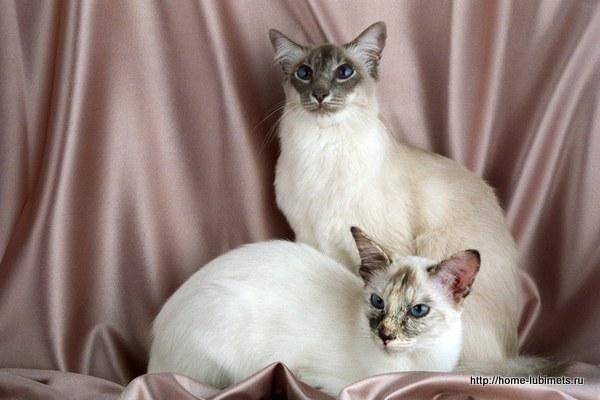 Балинезийские кошки