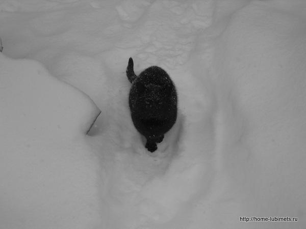 Чёрная кошка на белом снегу