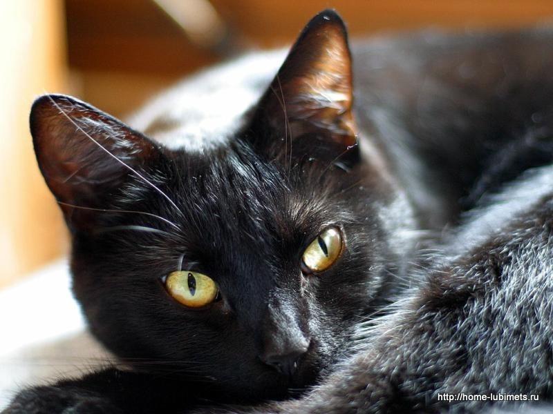 Чёрный окрас кошки