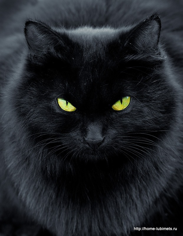породы черные кошки фото