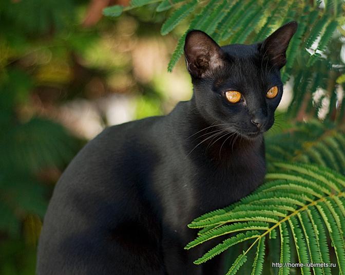 """Порода кошек """"мандалай"""""""