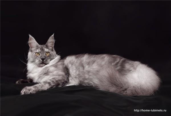 Серебряный кот