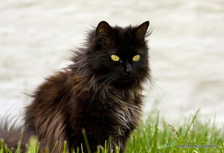 порода кошек тиффани фото