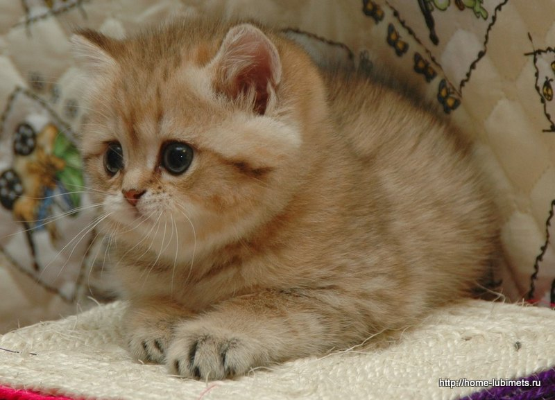 Продажа британских котят шиншилла