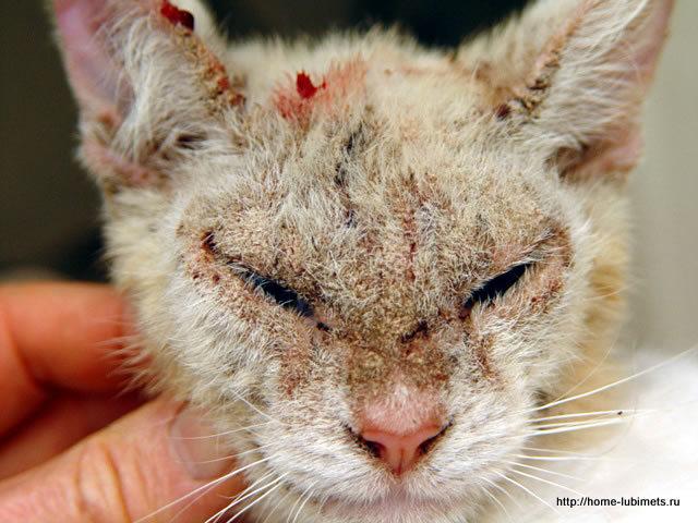 Саркоптоз у кошки лечение в домашних условиях
