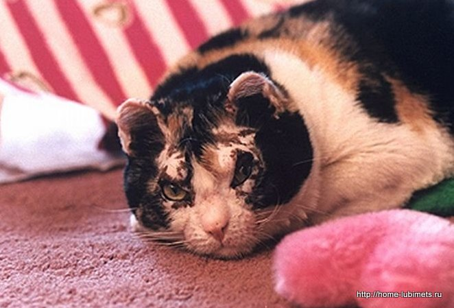Кошка Скарлет