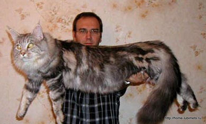 Безразмерный кот