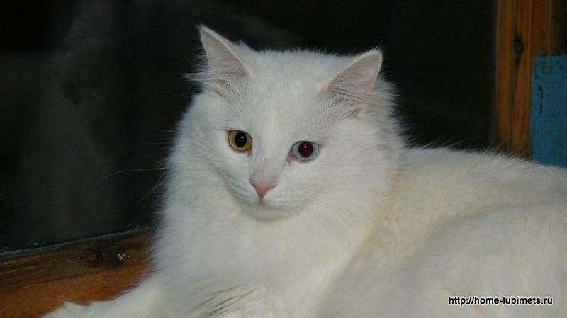 Кошка - белянка