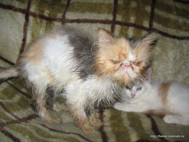Колтуны у кошек