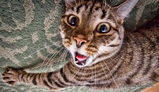 Болезни щитовидной железы у кошек