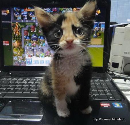 Беспородная кошка