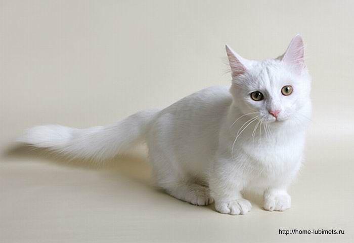 Остеоартроз у кошек