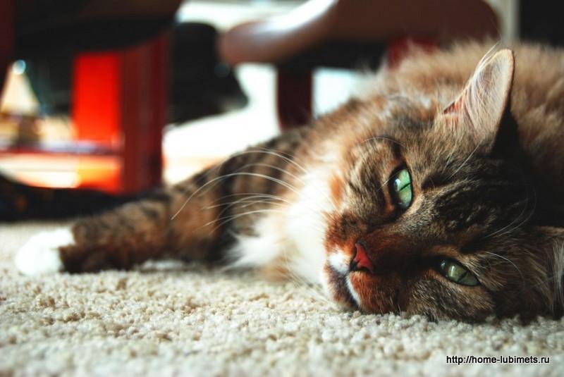 Гастроэнтерит кошек