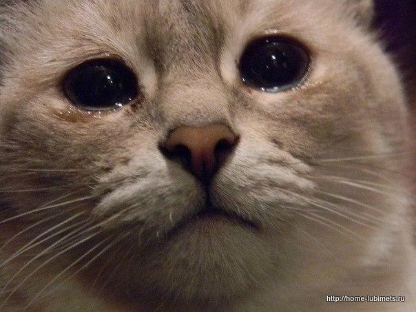 Слезотечение у кошек