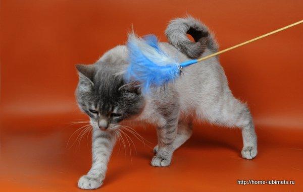 Кольцехвостые кошки