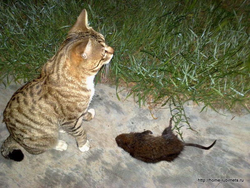Кошка - лев