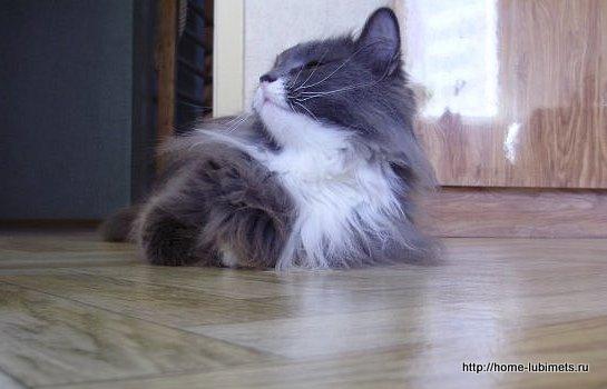 Красивый, сильный кот