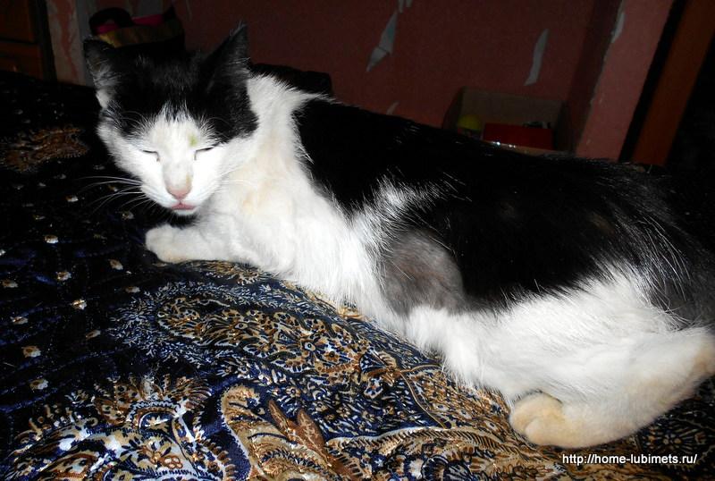 Психогенная алопеция у кошек